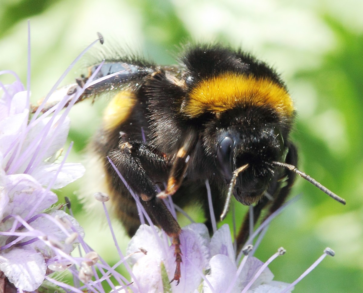 A Bombus terrestris queen has orange or buff hairs at the end of her abdomen instead of white ones.