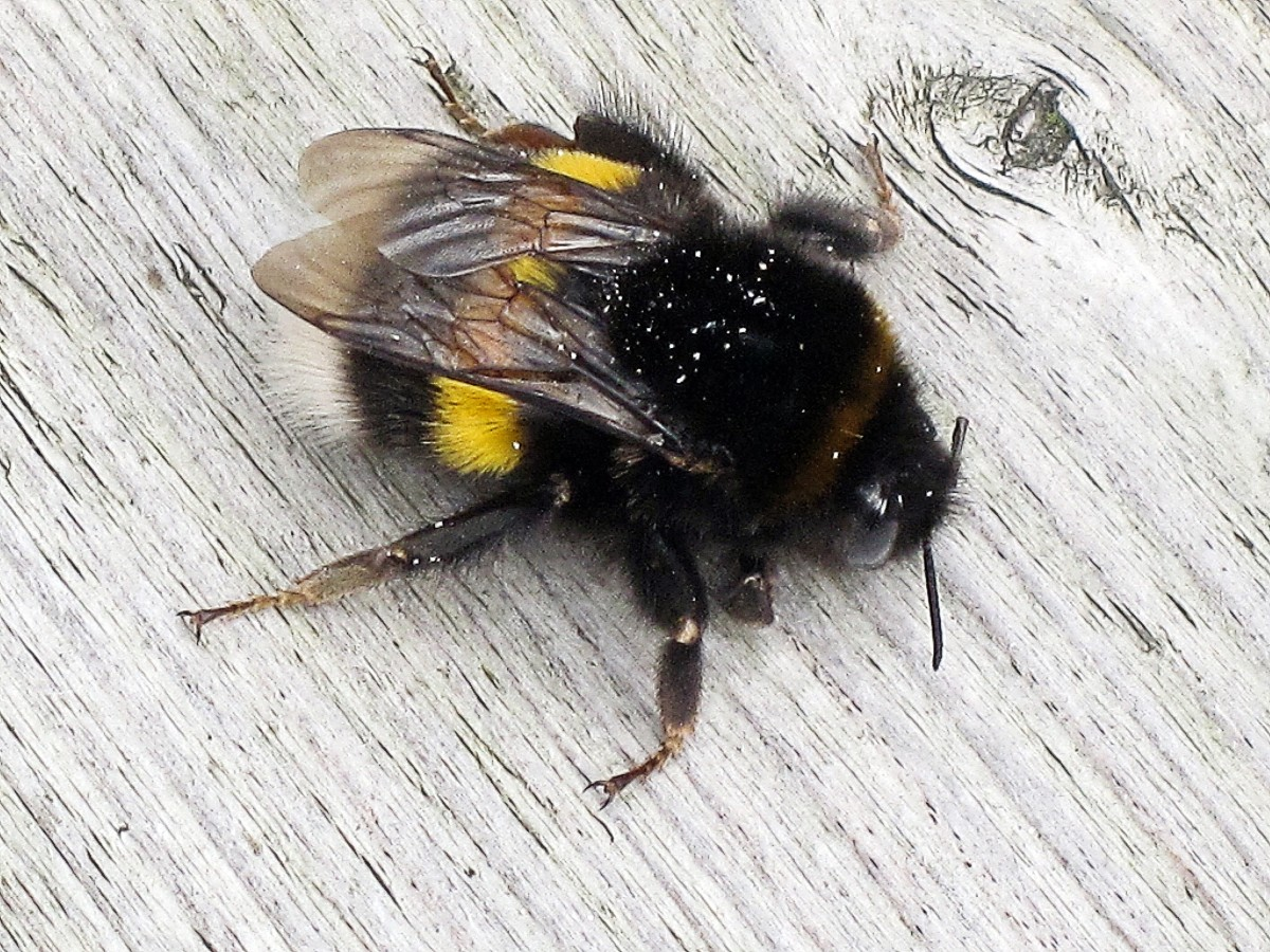 Another Bombus terrestris