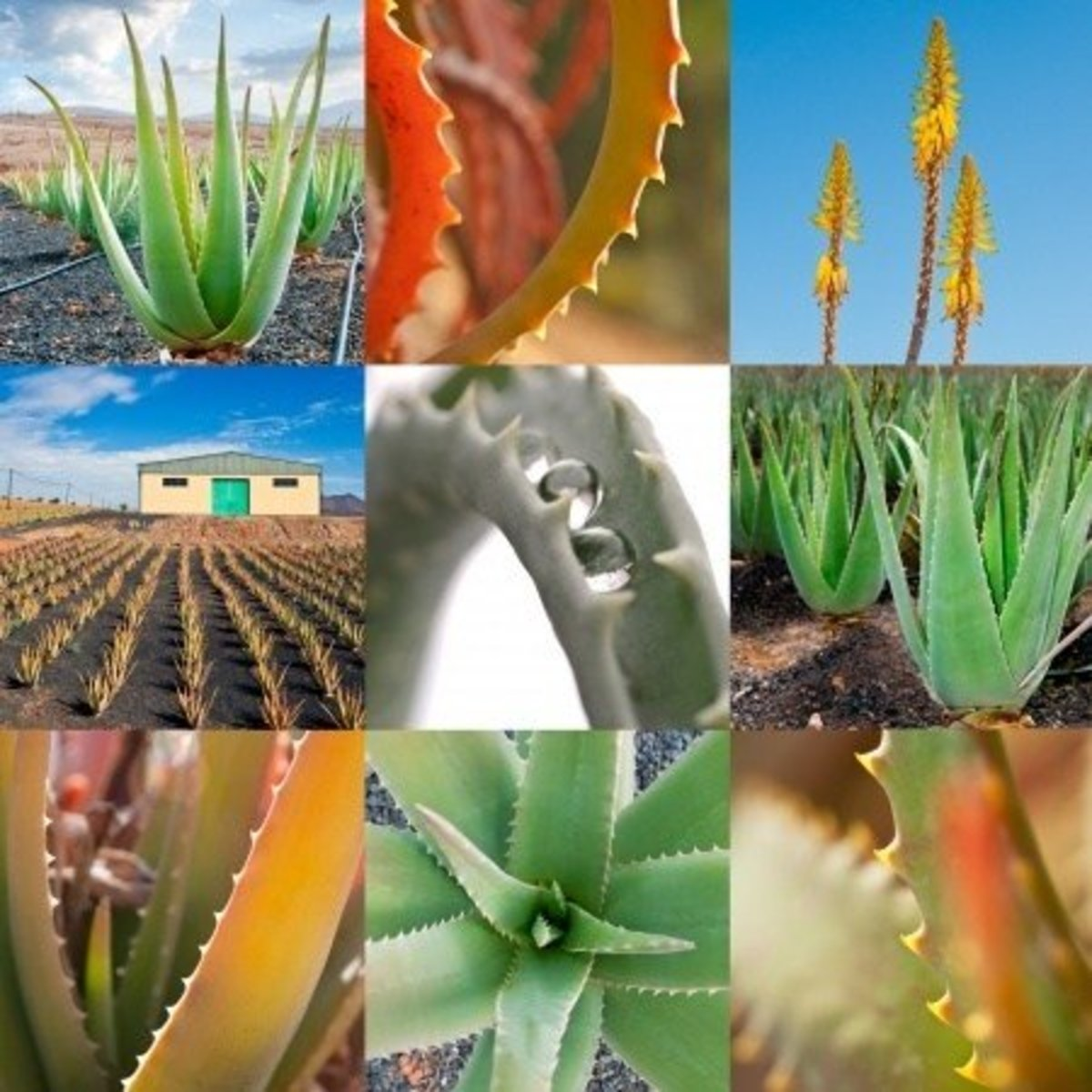 aloe-vera-plant-history-and-biology