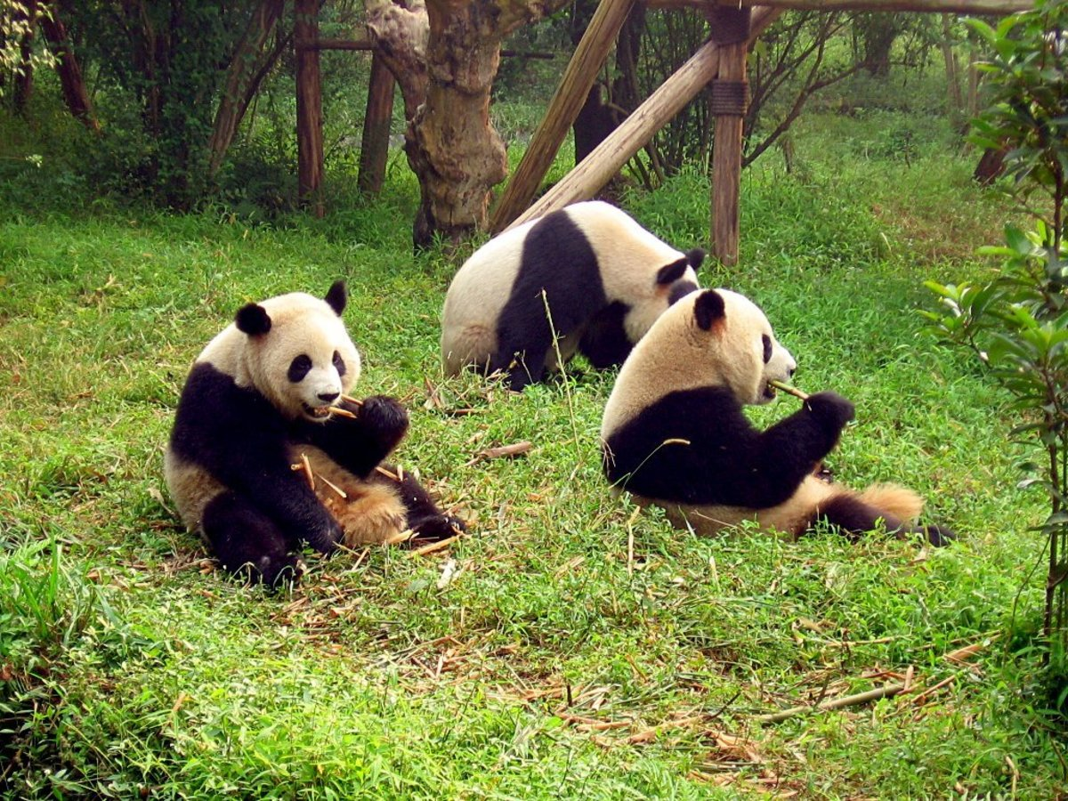 The giant panda is no longer listed as critically endangered.