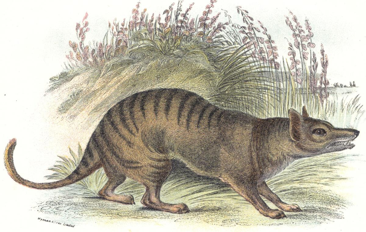 "The Thylacine or ""Tasmanian Wolf"" is a well-known species that has gone extinct due to humans, with the last confirmed sighting in 1933"