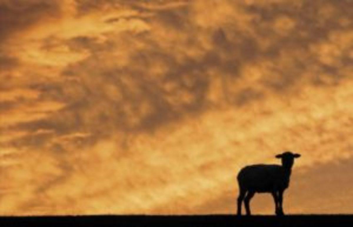 One lost lamb.