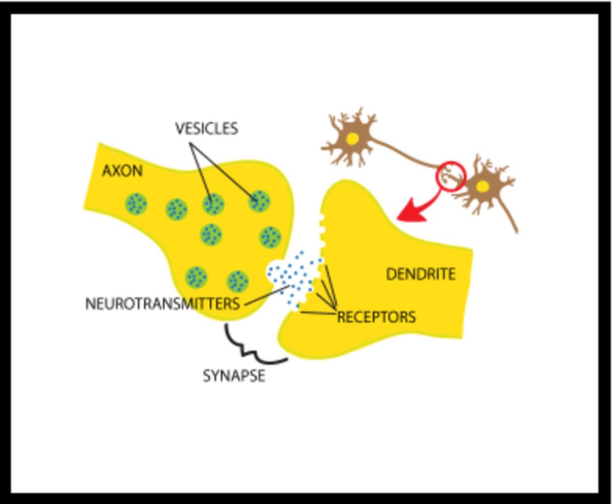 neuroscience-basics-the-neuron
