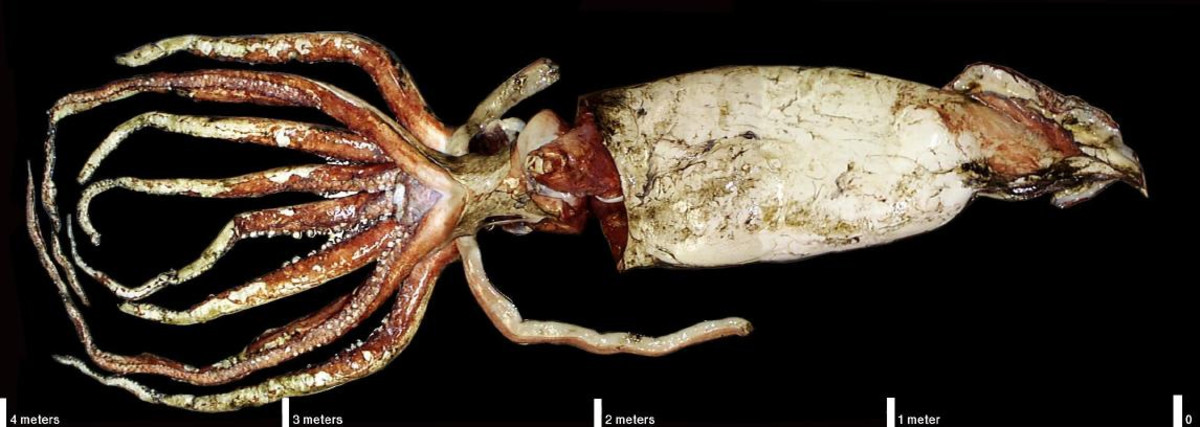 The largest giant squid ever found was 13 metres long!