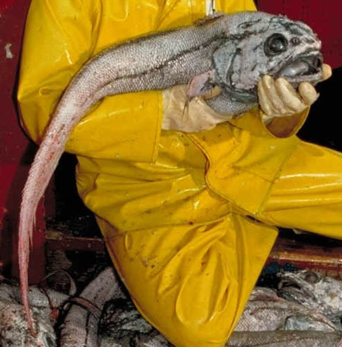I hope this scientist from the U.S. National Oceanic and Atmospheric Administration was wearing a nose plug while handling this giant grenadier!