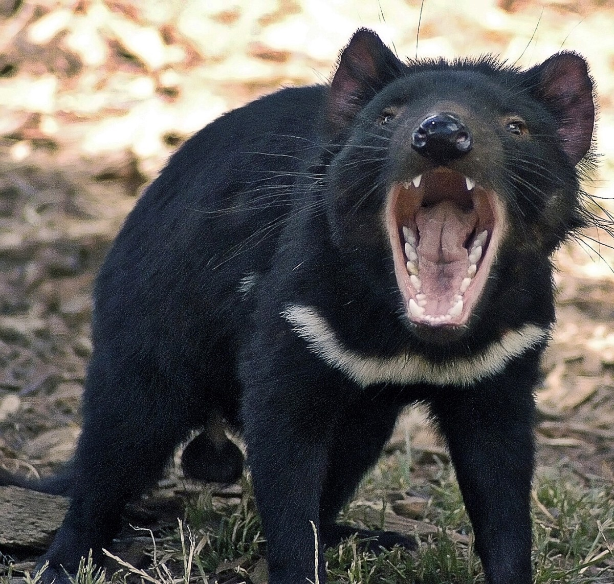 An animal at the Tasmanian Devil Conservation Park
