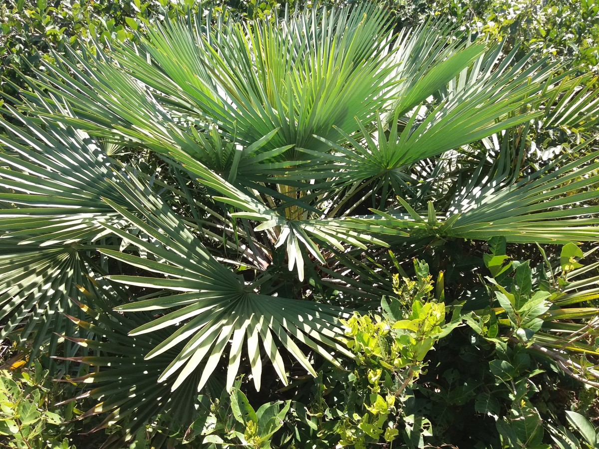 Carnauba palm leaves