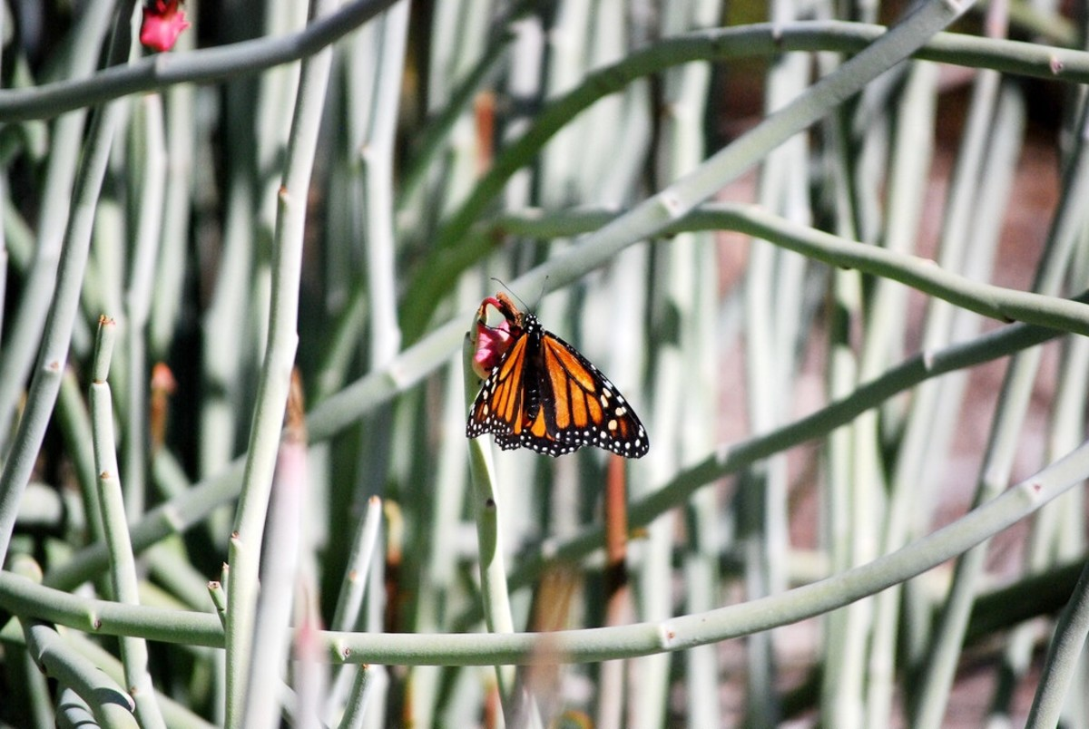 Monarch butterfly on candelilla
