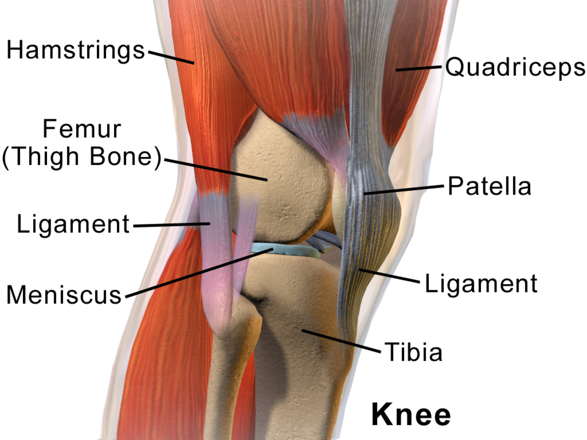 A meniscus in the knee
