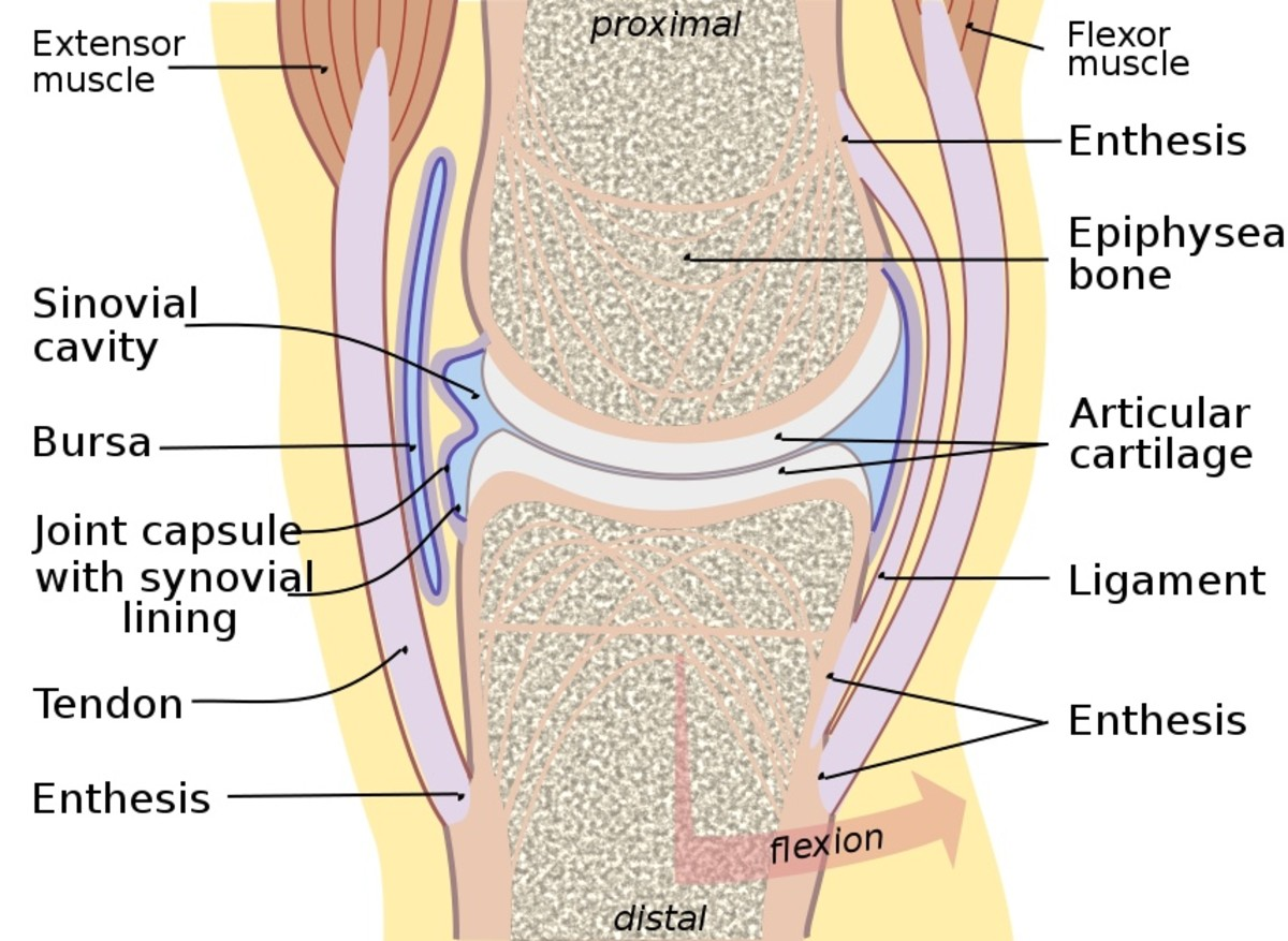 The synovial joint is the most common type of joint in our body.