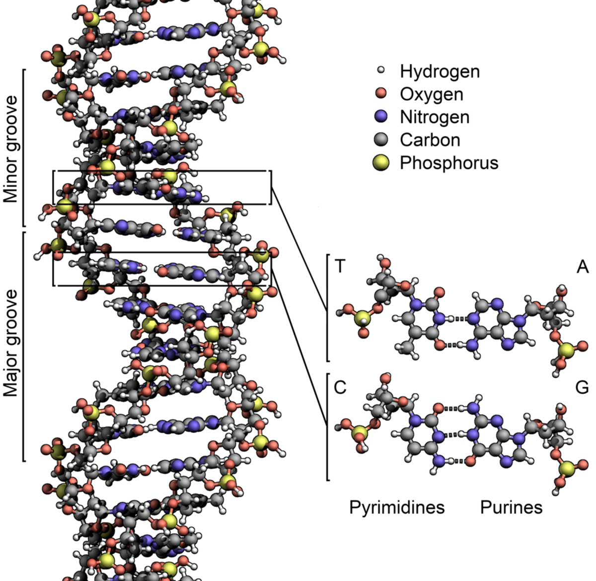 Structure of a DNA molecule