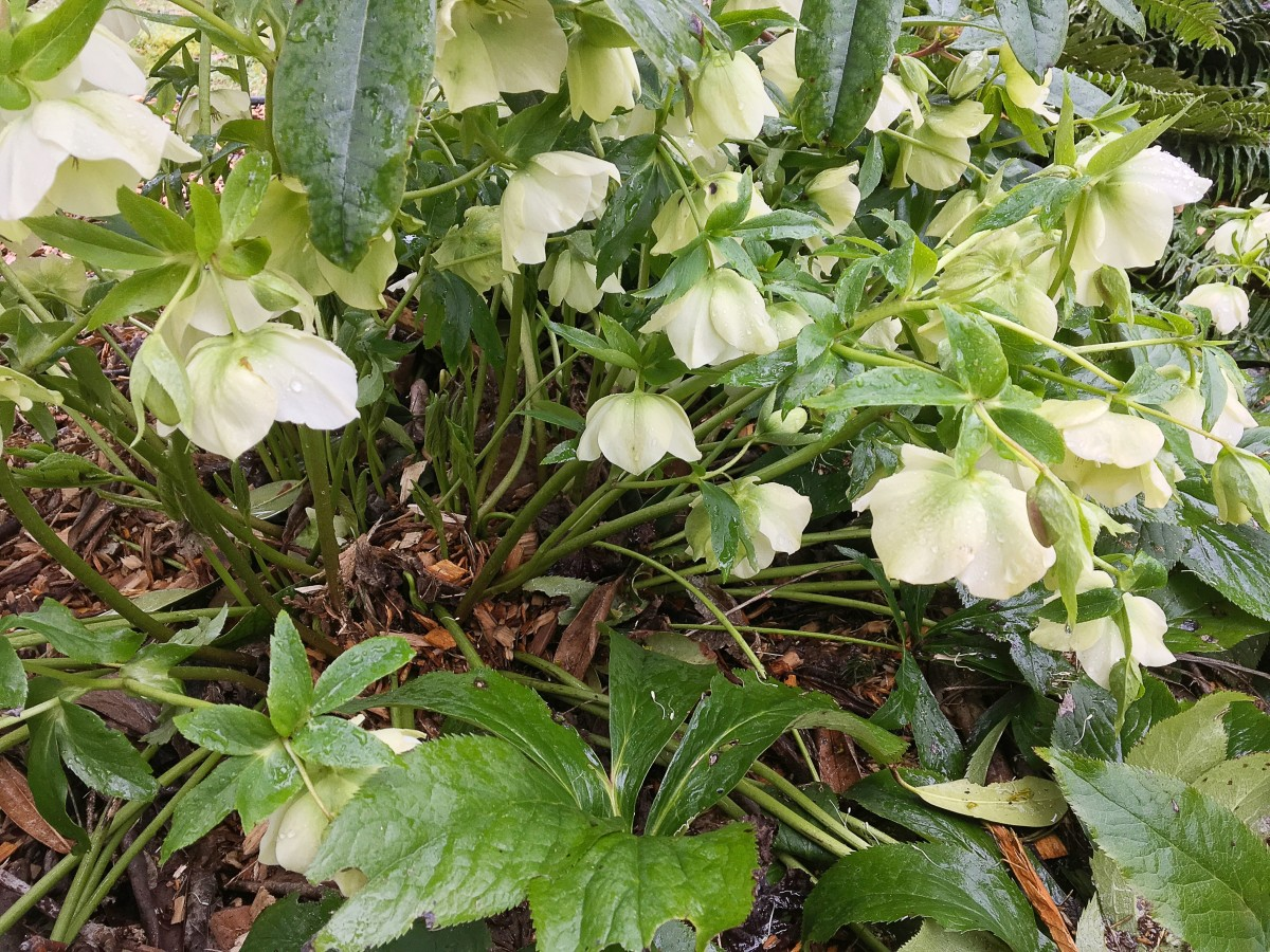 Hellebores in the rain