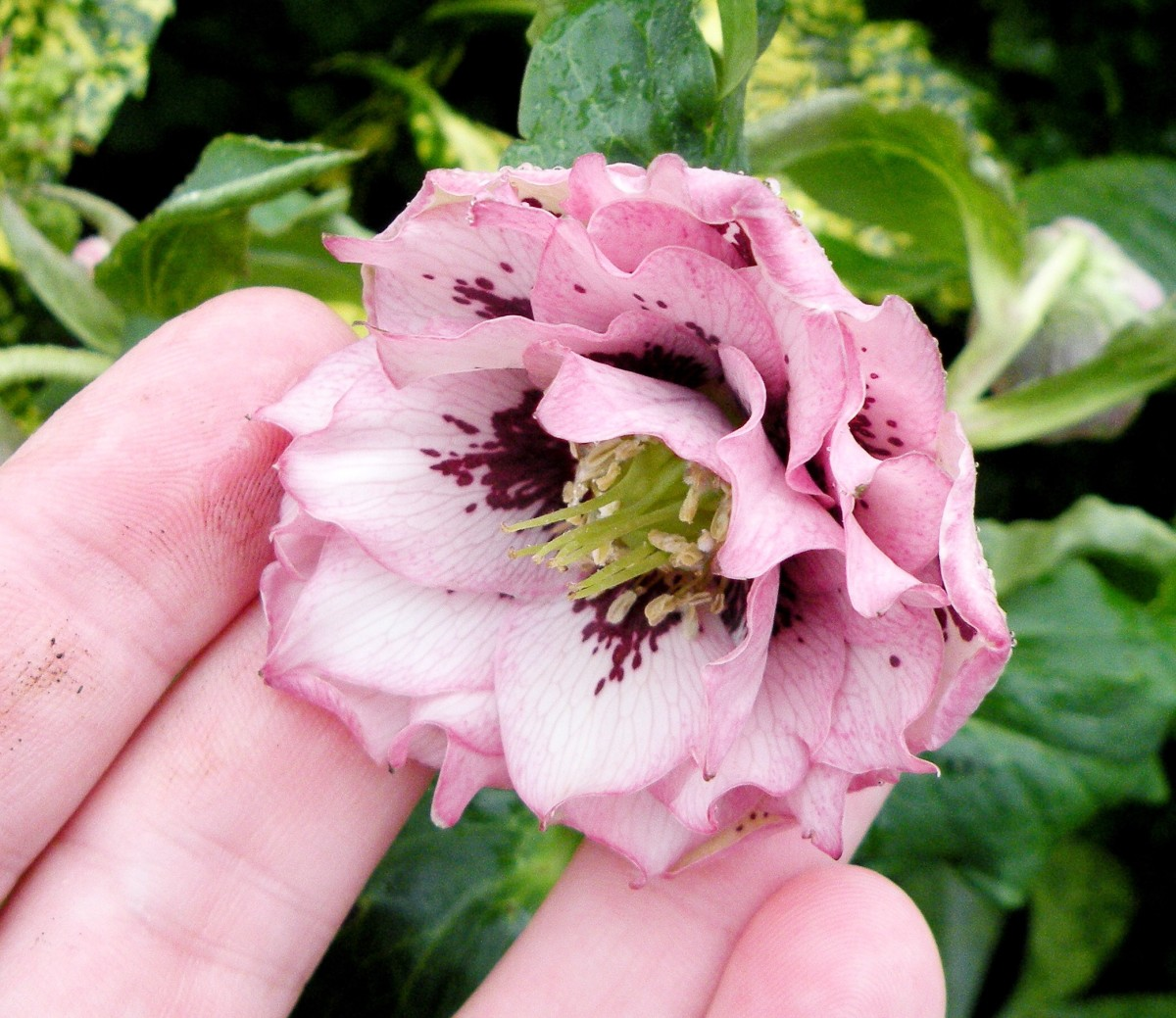 A double-flowered hellebore