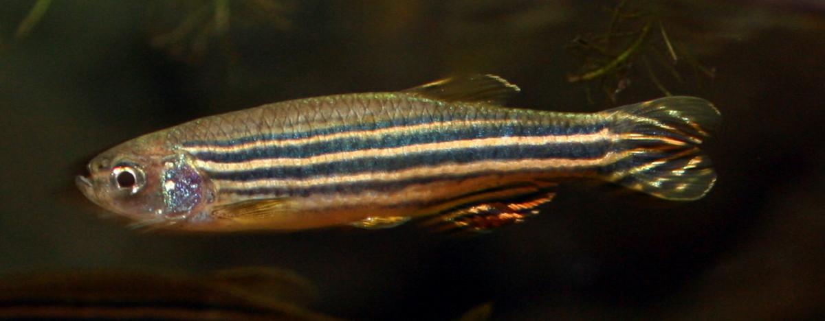 Danio rerio, a tetrachromatic fish.