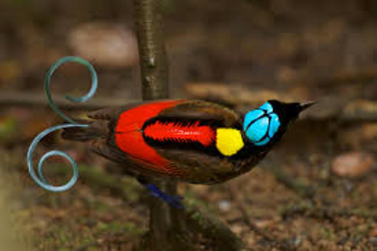 The Bird of Paradise bears unique feather, in color and shape. Some feathers spiral at the ends, appearing like curled wire.