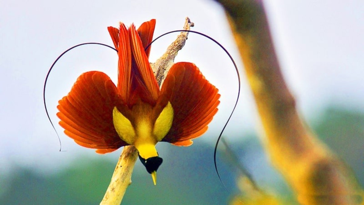 Bird of Paradise Facts | Owlcation