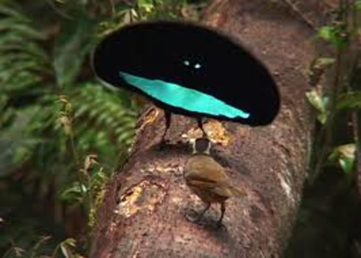 A male Superb Bird of Paradise, performs a courting dance, as the female watches. The Superb Bird of Paradise is able to shape shift into the appearance of a disc.