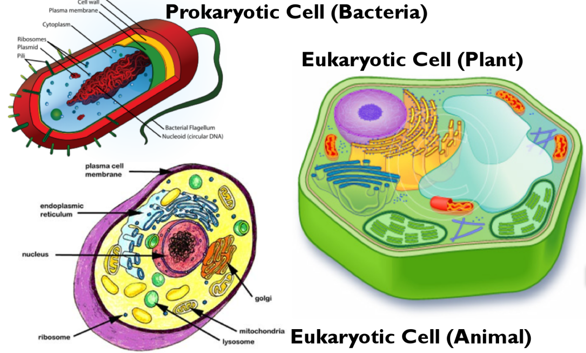 A comparison of the prokaryotic cell and both forms of eukaryotic cells.