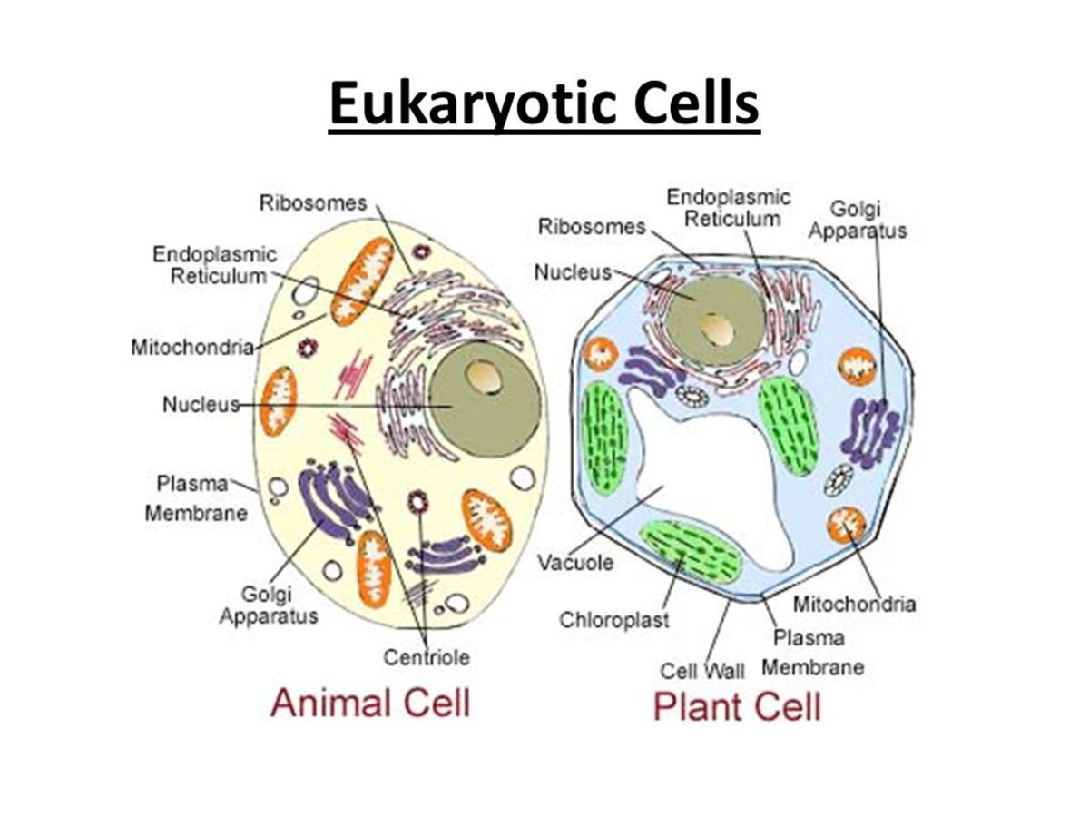 A side by side comparison of the plan and animal cells.