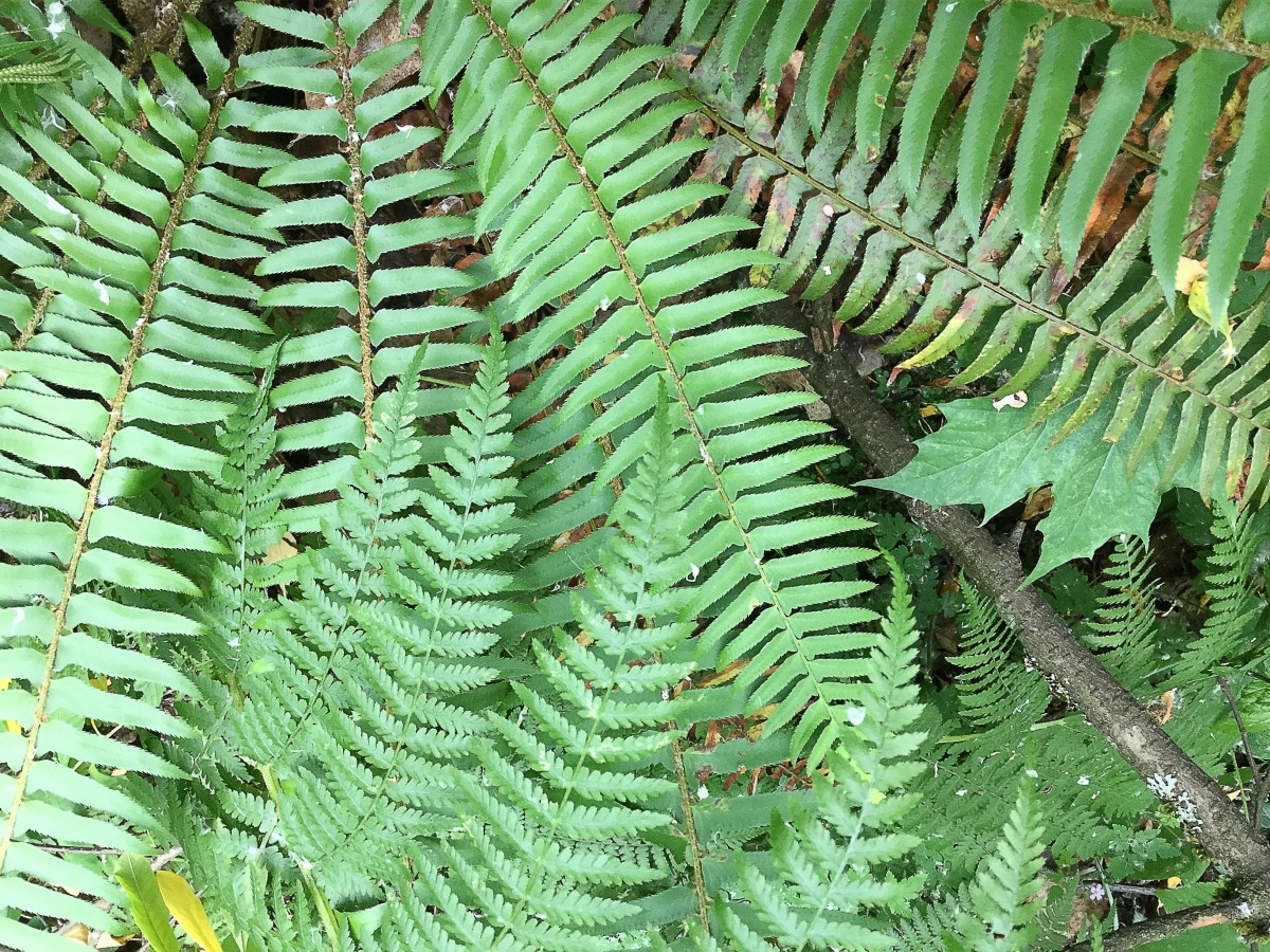Western sword fern covered by fronds of lady fern, which is another native plant in my area
