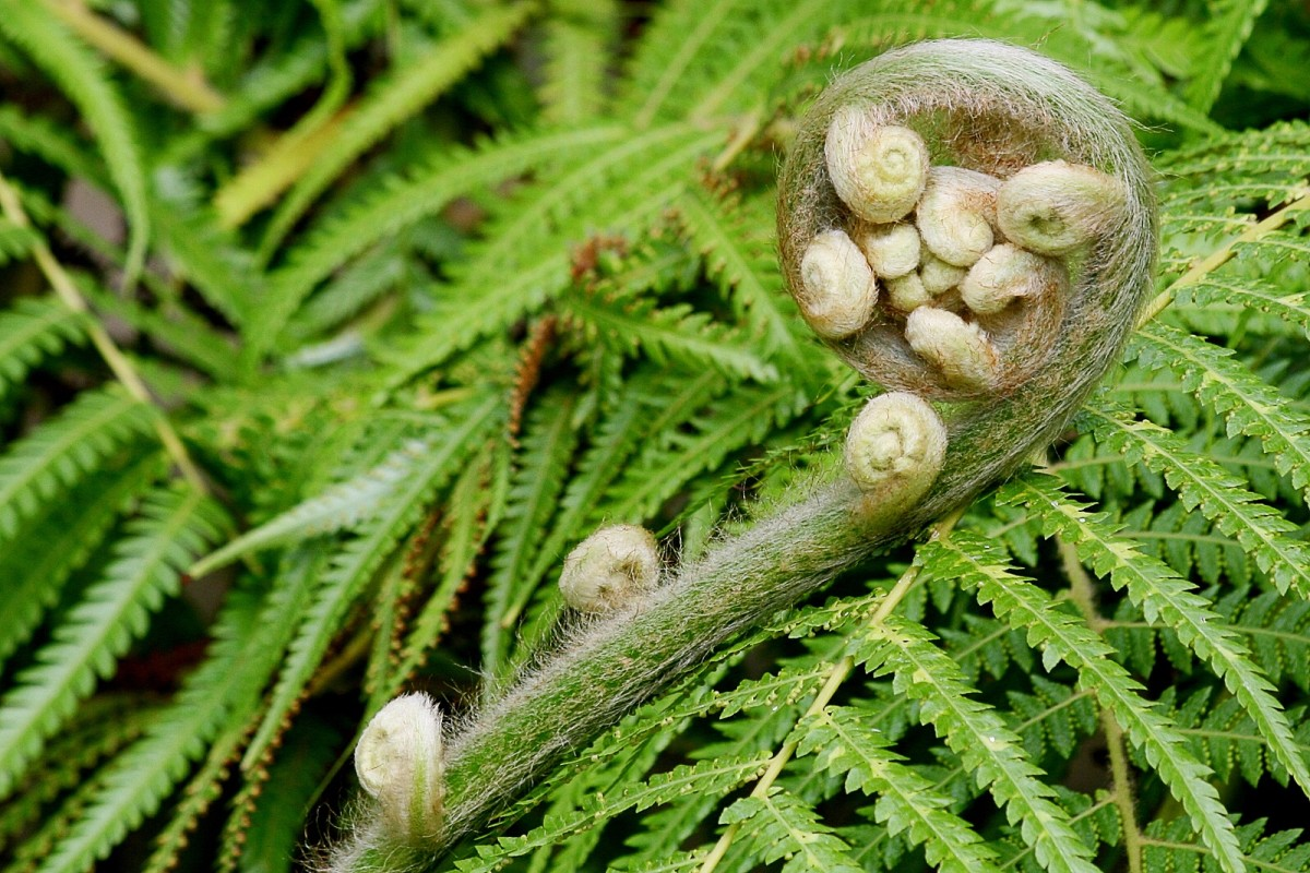 A fern fiddlehead