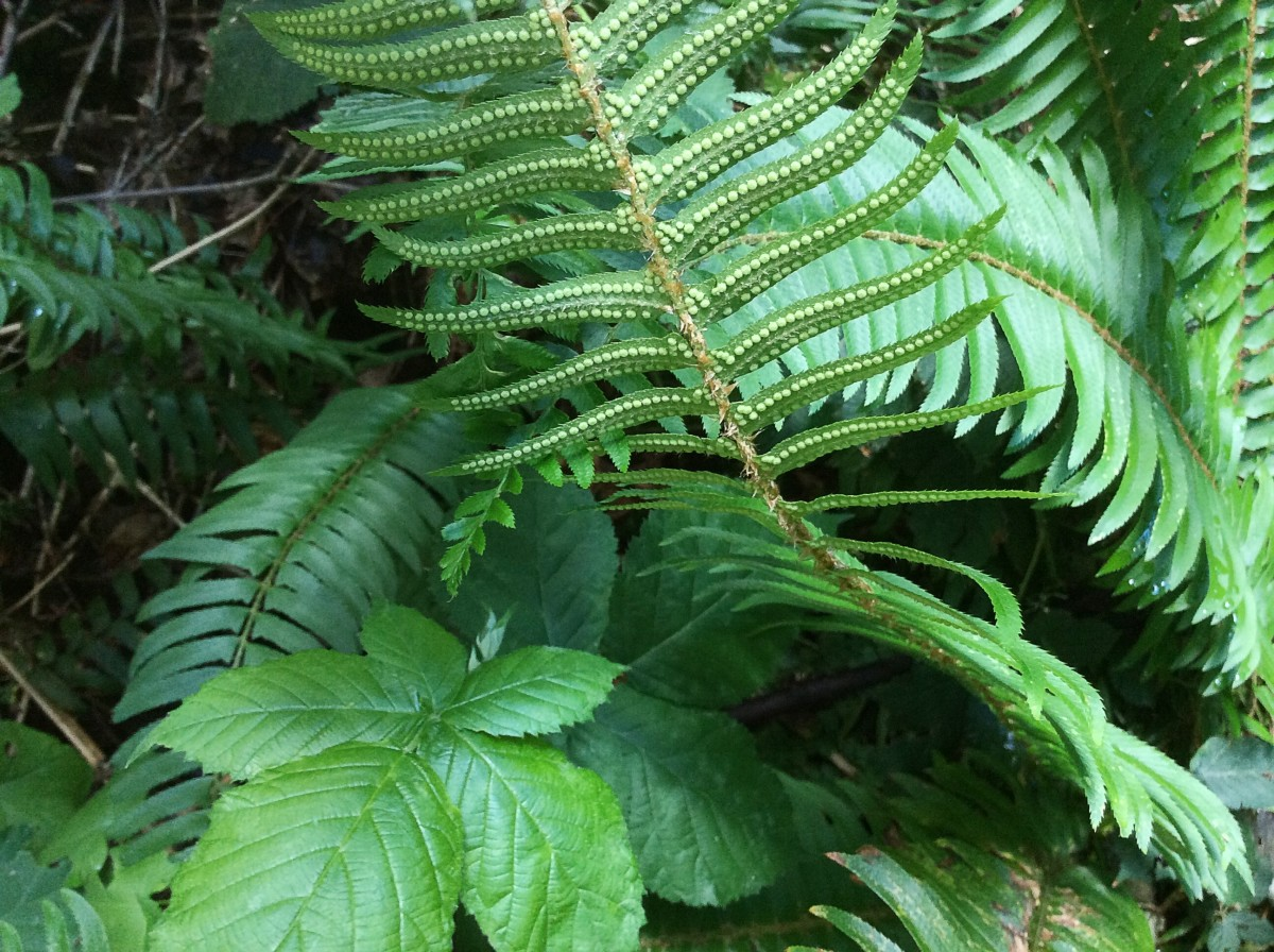The sori of a western sword fern