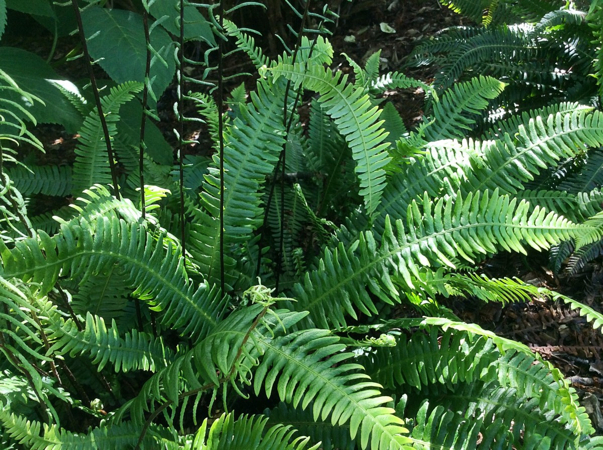 Deer fern growing in a park