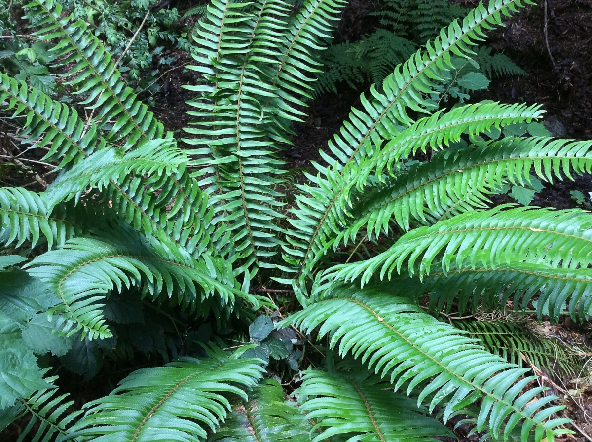 A western sword fern growing in the wild