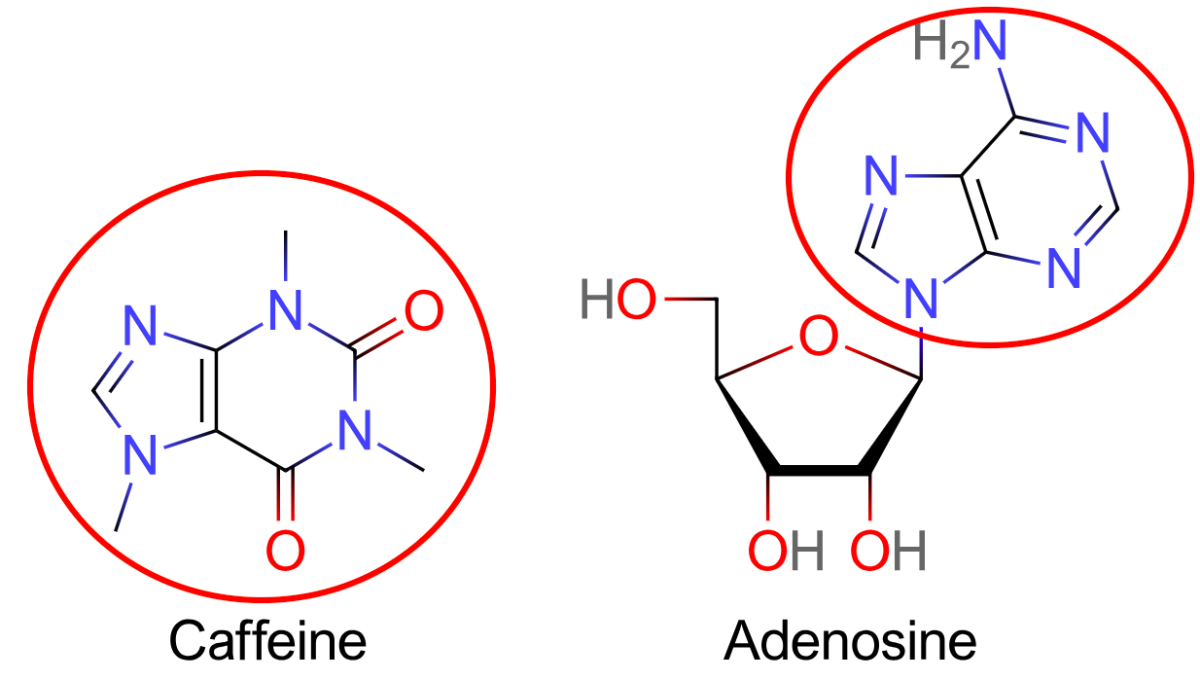 Caffeine has a similar molecular structure to adenosine and can fit into adenosine receptors and block them.