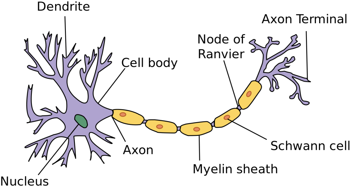 Structure of a human neuron, or a nerve cell