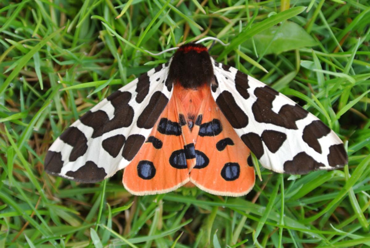 A Garden Tiger Moth
