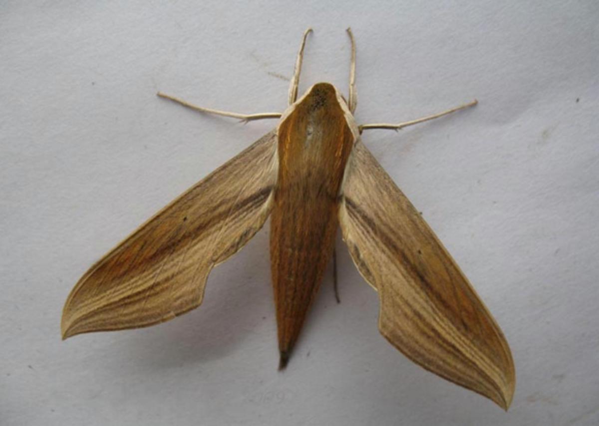 A Tersa Sphinx Moth