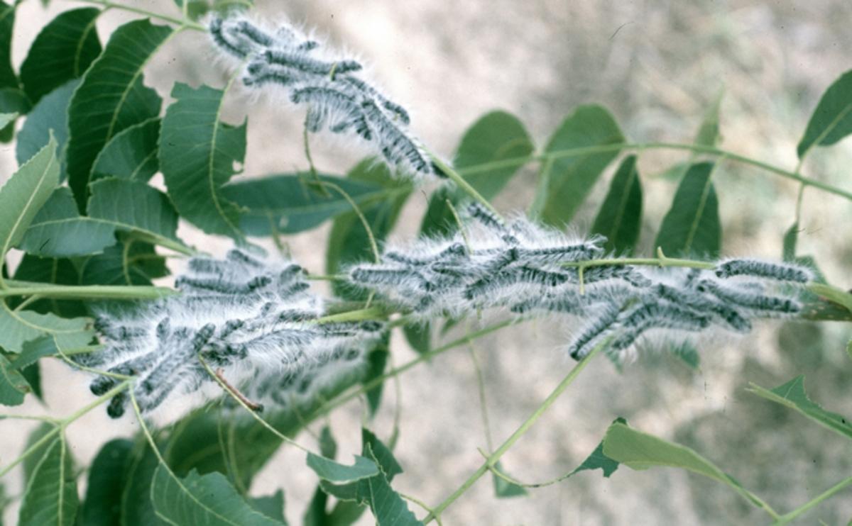 Walnut Caterpillars (Datana integerrima)