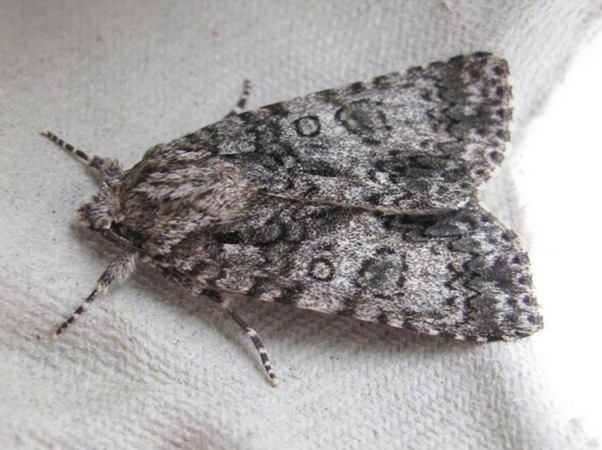 A Scarce Tiger Moth