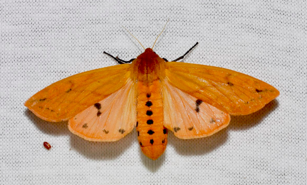 A Woolly Bear Moth