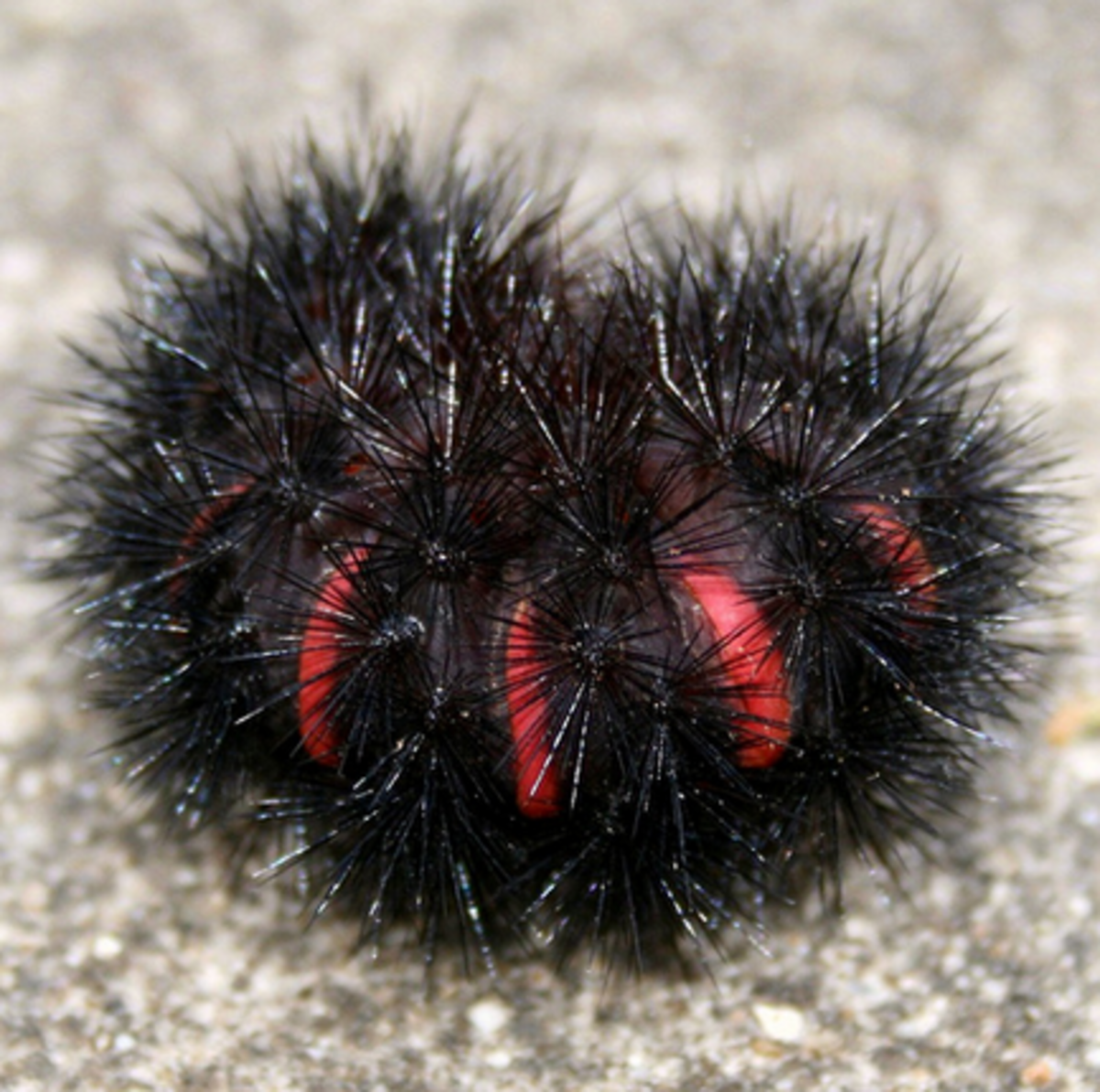 When giant leopard moth caterpillars curl up, they look remarkably like sea urchins!