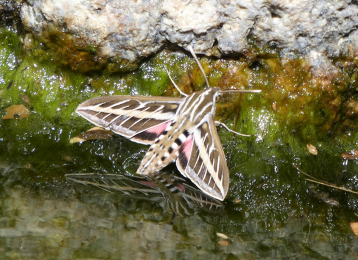 A White-Lined Sphinx Moth