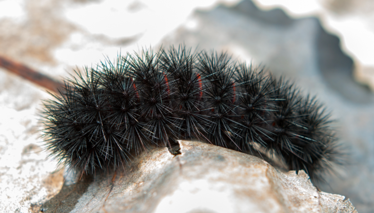 Black Caterpillar Identification and Guide | Owlcation
