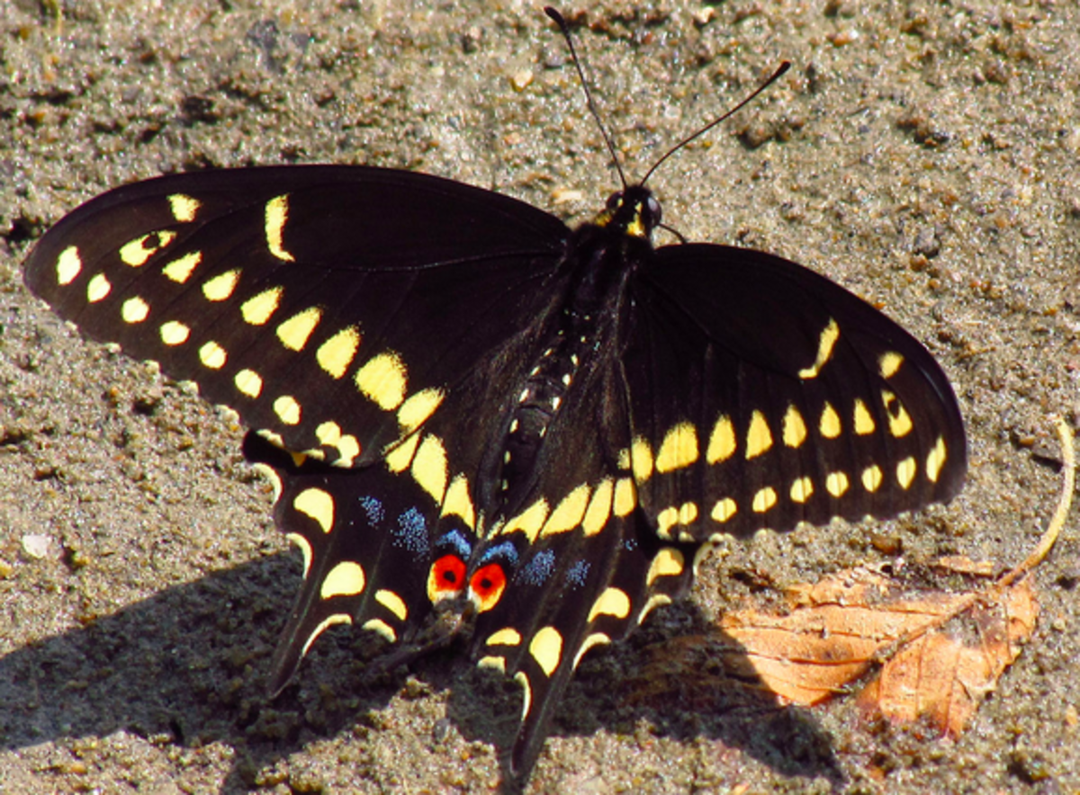 A Black Swallowtail Butterfly