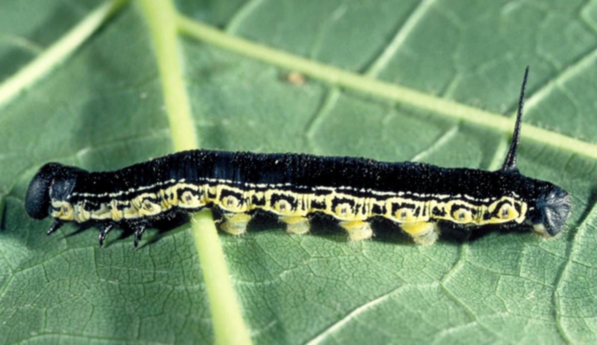 Catalpa Sphinx Caterpillar (Black Form)
