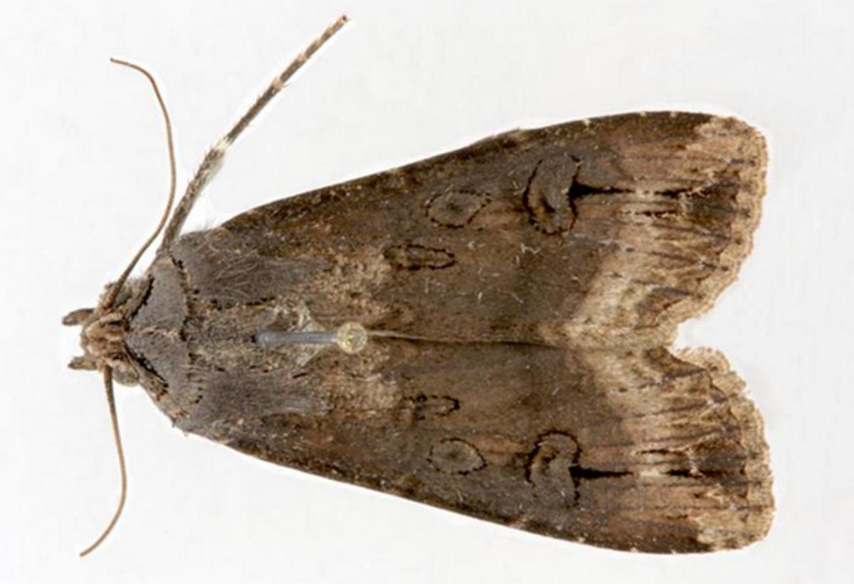 A Black Cutworm Moth