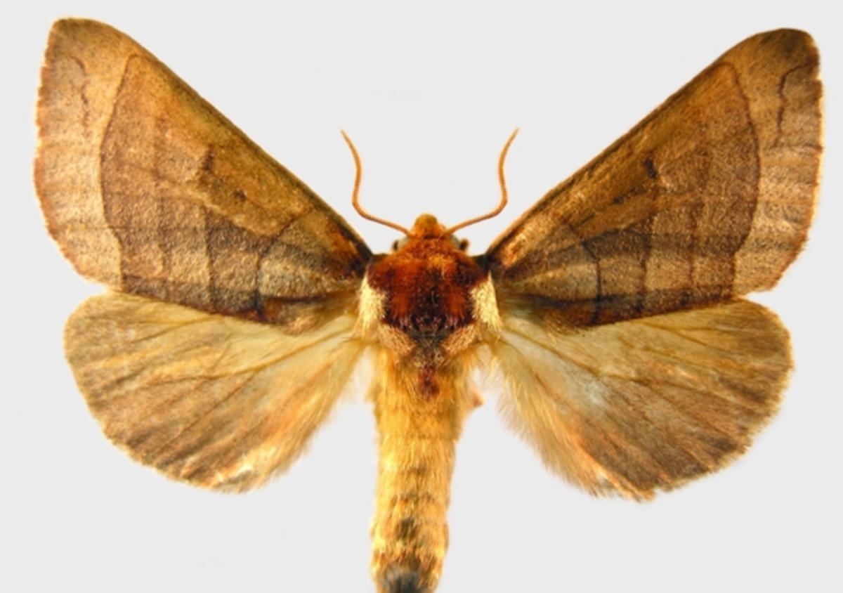 An Azalea Caterpillar Moth