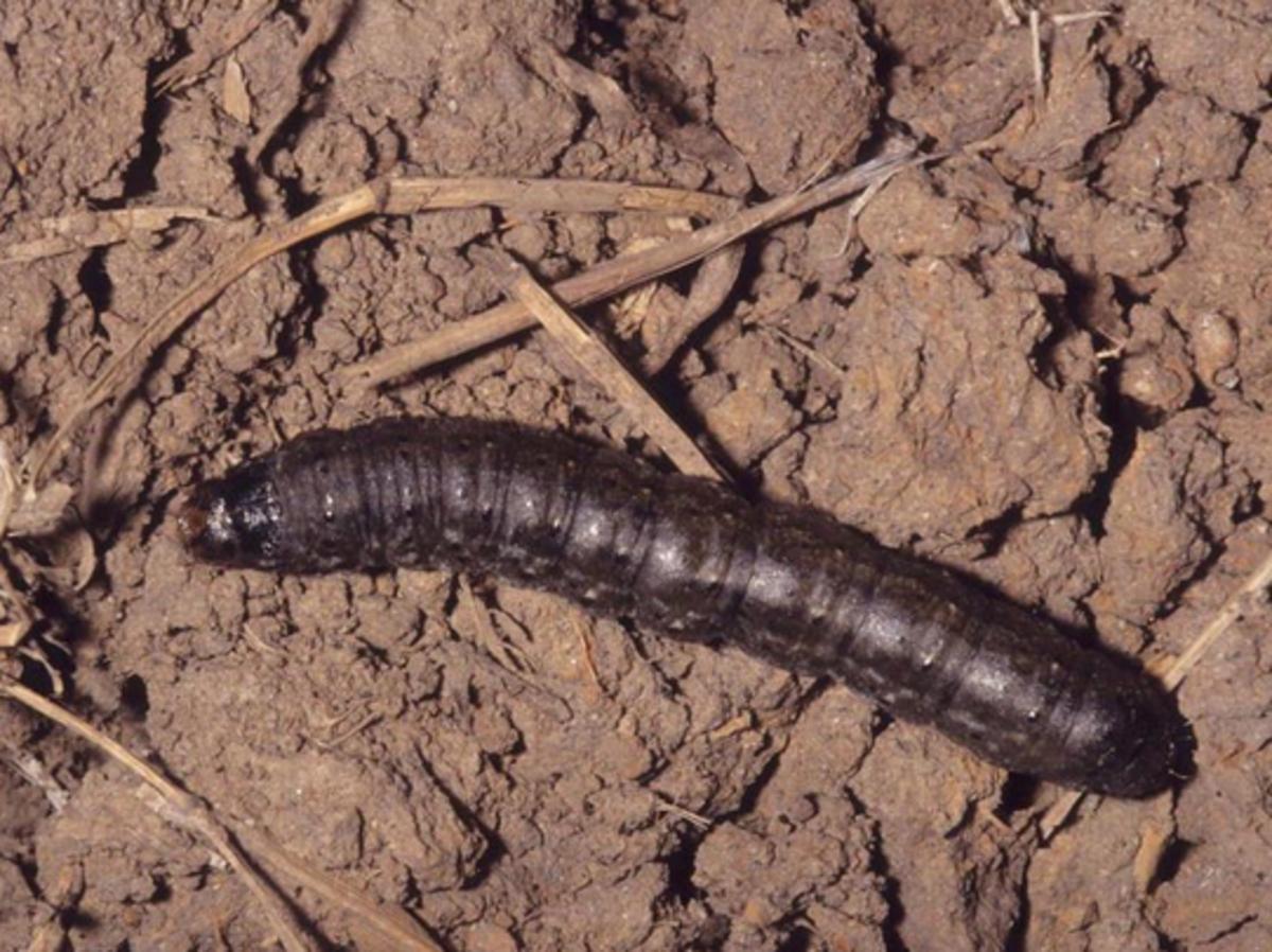 Black Cutworm Caterpillar (Agrotis ipsilon)