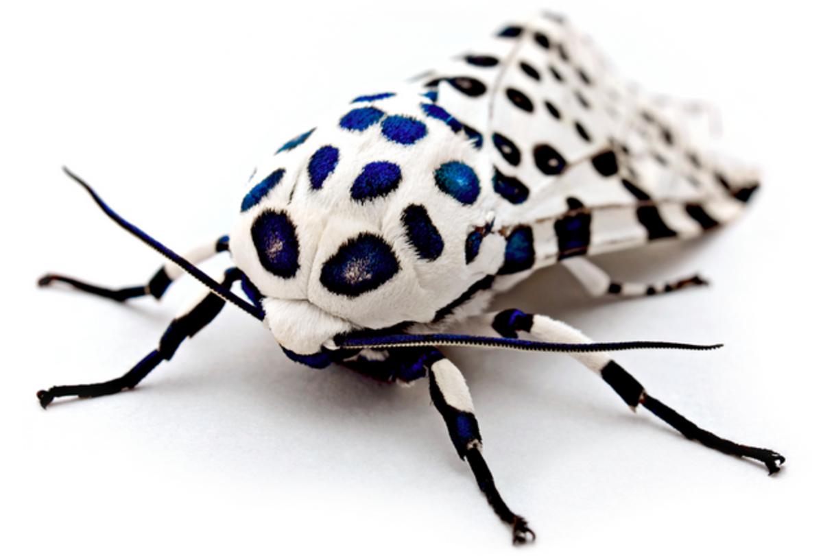 Giant Leopard Moth (Hypercompe scribonia)
