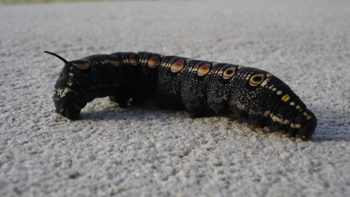 Tersa Sphinx Caterpillar (Black Form)