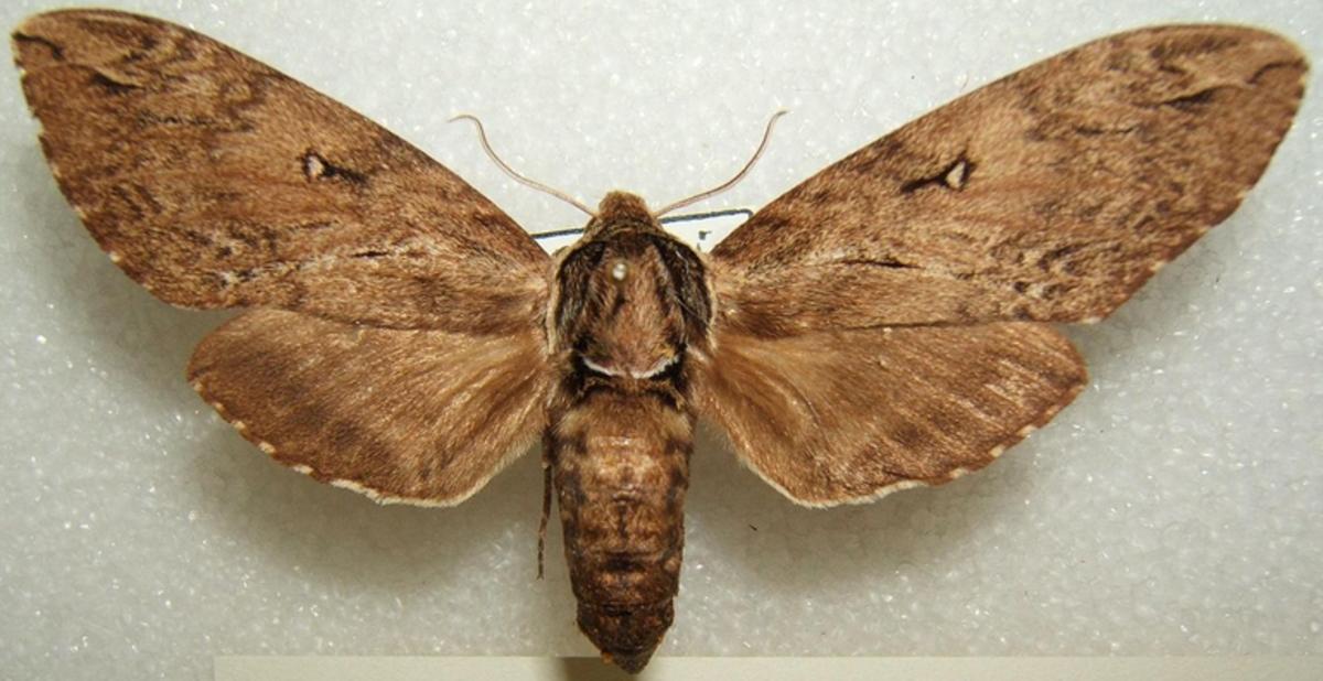 A Catalpa Sphinx Moth
