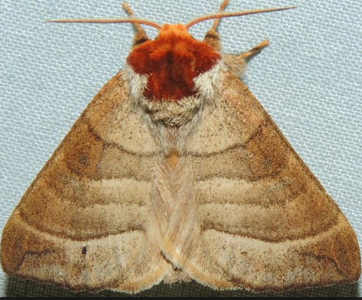 A Walnut Caterpillar Moth