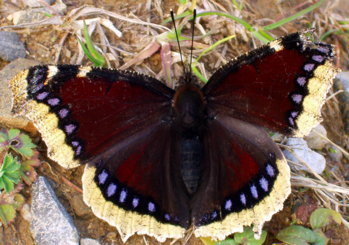 A Mourning Cloak Butterfly