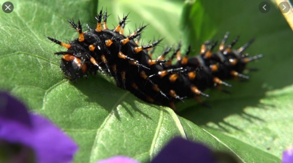 black-caterpillar-identification
