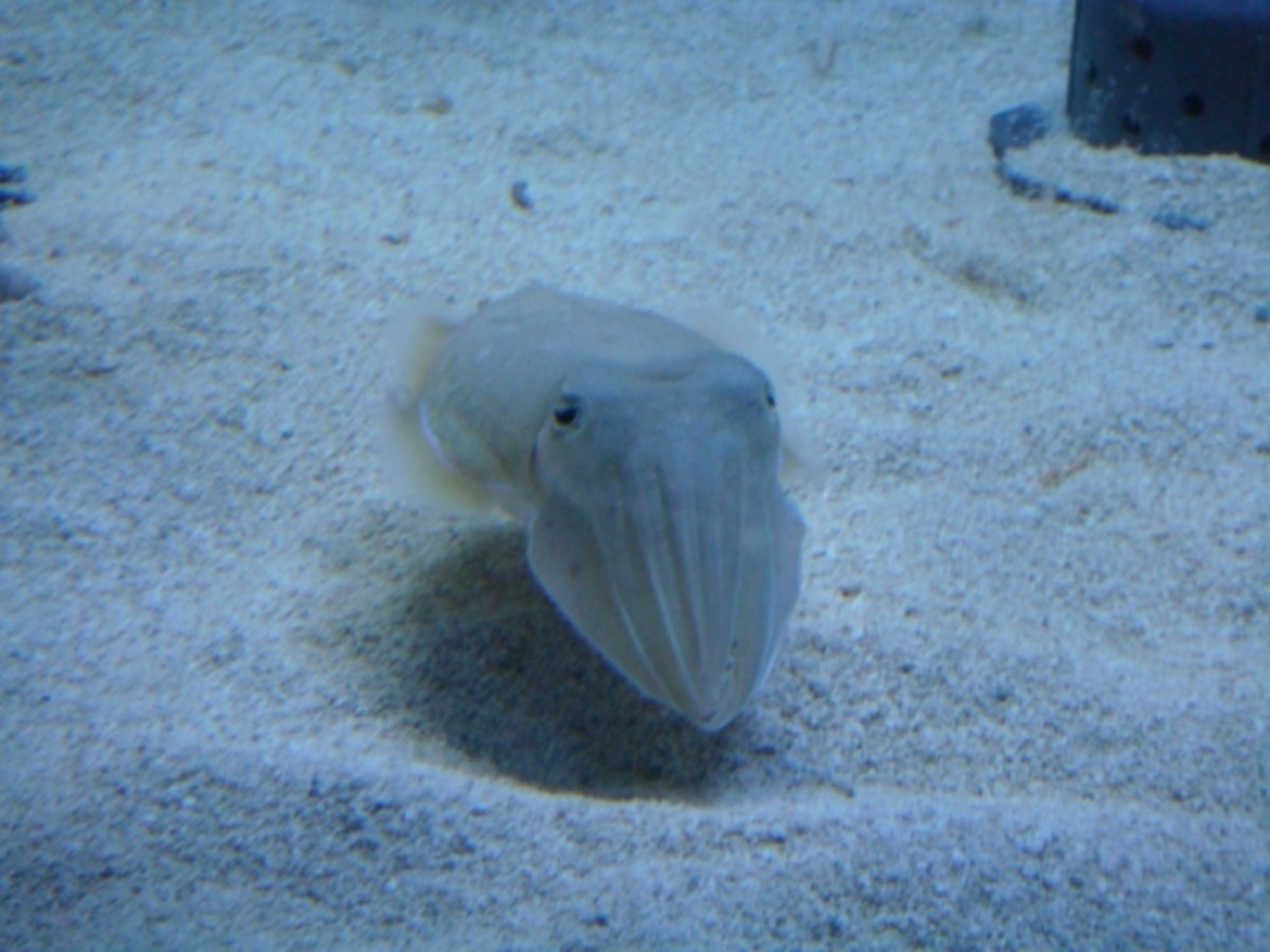 If you had a pet cuttlefish, they might come over like this every day to greet you! They are very social and curious animals.